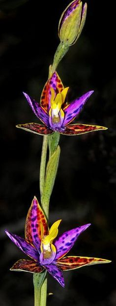 The Queen of Sheba - Thelymitra speciosa - This flamboyant beauty is native to Western Australia. It grows in open, sandy clays in exposed plains within the Wheatbelt. It's reliant upon Tulasnella fungi for germination. Orchids of this genus often mimic other nectar-providing plants in order to be pollinated, typically by bees.