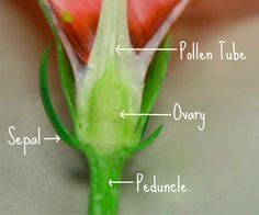 dissecting a flower