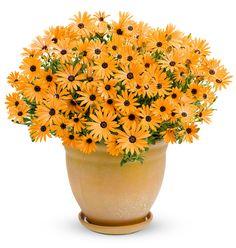 Orange Symphony - Osteospermum hybrid | Proven Winners
