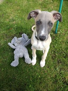 Ernie my whippet pup x