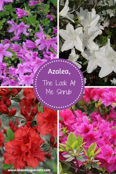Learn some great tips on growing and the care of Azalea shrubs.