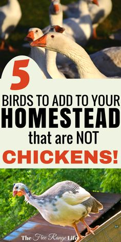 Homesteading Tips: 5 poultry to raise that are not chickens!