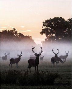 herd of red deer at windsor great park