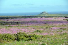 La spettacolare fioritura del Postberg, in #sudafrica