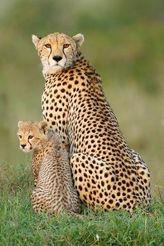 Cheetah - Top Flight Nature Photography: Photographing African wildlife with impact; Cuteness (part Cheetah - Top Flight Nature Photography: Photographing African wildlife with impact; Cuteness (part Animals And Pets, Baby Animals, Funny Animals, Cute Animals, Wild Animals, Beautiful Cats, Animals Beautiful, Beautiful Family, Big Cats