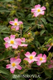 Grayswood Pink Rock Rose This small spreading evergreen shrub grows into a pleasing mound of gray-green, evergreen foliage. Cupped, single pink flowers appear in mid-...