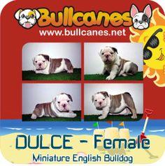 Miniature English Bulldog, English Bulldogs, Bulldog Puppies For Sale, French Bulldog Puppies, Facebook, Youtube, Animals, Instagram, Animales