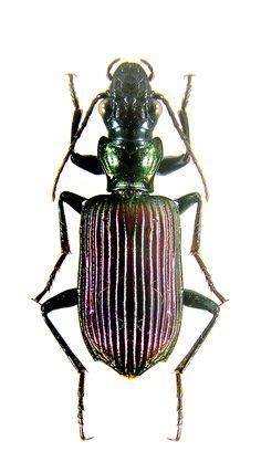 Catascopus vitalisi