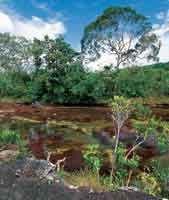 Fisonomía del bosque ripario bajo y achaparrado que sigue el curso de Caño Cristales, serranía de La Macarena
