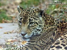 Did you know the term jaguars are the largest cats in the Western Hemisphere, and the third largest overall?  Click here to learn more, visit www.philadelphiazoo.org  #PhiladelphiaZoo