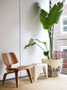 Strelitzia Nicolai giant bird of paradise in WHITE pot suitable for indoors
