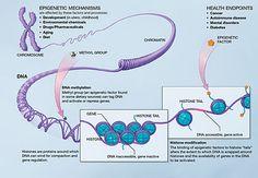 Epigenetics - Wikipedia, the free encyclopedia E Learning, Dna Methylation, Reiki, Gene Expression, Stress, Autoimmune Disease, Colorado, Learning, Dna