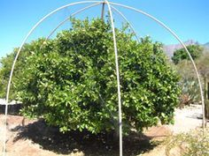 permanent pvc framework can have frost cloth draped in winter, or bird netting in summer to protect Garden Trellis, Garden Beds, Fruit Trees In Containers, Fruit Cage, Espalier Fruit Trees, Forest Garden, Garden Fun, Bird Netting, Small Greenhouse
