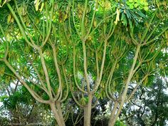 Aggregata Plants & Gardens: Euphorbia lambii also known as the Tree Euphorbia. Another tough and low water use specimen