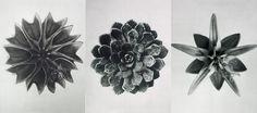 karl blossfeldt prints - Google Search
