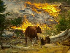 A photo of a cow walking among burning grass during the Rim Fire in Yosemite.
