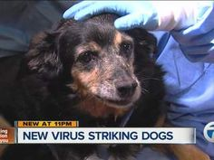 Deadly dog virus strikes Ann Arbor, MI, quickly kills six; Vets say it may spread from owners to pets