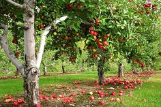 Complete Guide on How to start a Home Fruit Farming by Cultivating Apples, Pears, Cherries, Plums and Peaches - Urban Farming Zone Permaculture, Plums And Peaches, Apple Garden, Natural Ecosystem, Perennial Vegetables, Forest Garden, Low Maintenance Plants, Apple Orchard, Peach Orchard