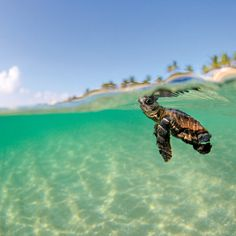 Baby loggerhead sea turtle in waters off the coast of Florida Animal Pictures, Cool Pictures, Amazing Photos, Funny Pictures, Baby Animals, Cute Animals, Wild Animals, Loggerhead Turtle, Wildlife Biologist