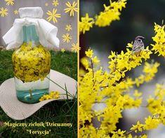 FORSYCJA – królowa rutyny. (Forsythia Vahl) 🌼 – Magiczny zielnik Dziewanny Happy Spring, Happy Easter, Garden Sculpture, Herbalism, Herbs, Homemade, Table Decorations, Health, Outdoor Decor