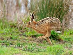 Rob Auty - 'A Hare's Tale' Book Series 34 mins ·  Copyright Nigel Forrow  Running Hare