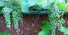 This article will teach you how to prune, train, and grow grape vines. Lake Garden, Garden Oasis, Grape Plant, Chain Link Fence, Growing Grapes, Aquaponics System, Edible Garden, Wine Drinks, Grape Vines