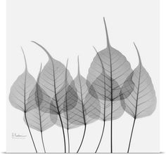 Blue and Green Bodhi Tree Leaf X-Ray Photograph Photo Canvas Print | Great Big Canvas