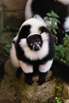White-ruffed Lemur at Marwell Wildlife