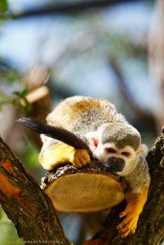 Squirrel monkey, Zoo Vienna