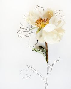 botanical drawing no. 6012, in a series of 3 botanical drawing fine art photographs of magnolias by keri herer