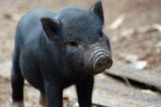 The tea cup pot belly pig I want <3