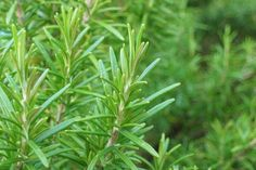 Rosemary Herb Seeds (Rosemarinus Officinalis) - Under The Sun Seeds - 1 Seaside Garden, Coastal Gardens, How To Darken Hair, Rosemary Plant, Grow Rosemary, Oregano Oil, Herb Seeds, Healing Herbs, Medicinal Plants