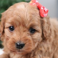 Lola is a Female Cavapoo puppy for sale at PuppySpot. Call us today to learn more (reference 627607 when you call). Millersburg Ohio, Cavapoo Puppies For Sale, Puppy Facts, Puppy Finder, Puppy Mills, Puppy Love, Dogs, Animals, Cavapoo Puppies