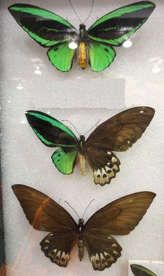 Gynandromorphism Green Birdwing