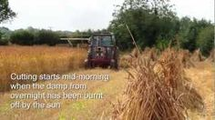 GRU Information Resource 4: Growing Demonstration of UK Heritage Wheats, via YouTube.