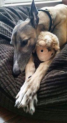 Nara is taking her Monday in stride.  #greyhounds #galtx