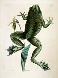 Frog - Mark Catesby, c.1731