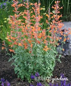 agastache A cultivar discovered at High Country Gardens in Santa Fe, New Mexico,. agastache A cult Orange Flowers, Cut Flowers, Summer Flowers, All Plants, Garden Plants, Fence Garden, Shade Garden, Pic Vert, High Country Gardens