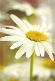 I carried a daisy bouquet 50 years ago on our wedding day! Still love the simplicity of them.