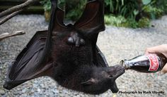 Photograph of Flying Fox by Mark Ulyseas - The Third Word War - Live Encounters Magazine September 2015