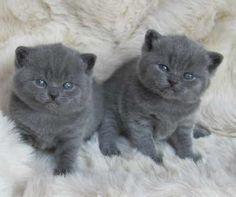 skellum british blue kittens
