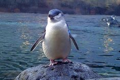 The Little Penguin is the smallest species of penguin. The penguin, which usually grows to an average of 33 cm in height and 43 cm in length, is found on the coastlines of southern Australia and New Zealand, with possible records from Chile.