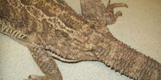 Coccidiosis in Bearded dragons is a very common. It is commonly seen in stressed Beardies, especially in neglected and unhygienic enclosures. As with all infected animal species, coccidia invade the gastrointestinal tract and cause cellular damage, giving rise to various degrees of diarrhoea.