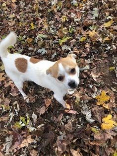 Lotus is an adoptable Dog - Terrier & Chihuahua Mix searching for a forever family near Charlotte, NC. Use Petfinder to find adoptable pets in your area.