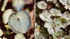 The foliage of hardy cyclamen (left) and ivy-leaved cyclamen (right) vary significantly from variety to variety. This hardy cyclamen is from the silver-leaved group, a group of cultivars with light foliage that looks like it's dusted in frost.