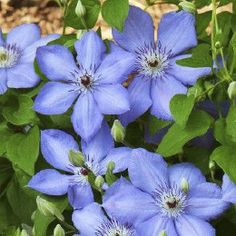 Clematis blue pillar