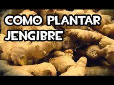 Cómo plantar jengibre   Plantas