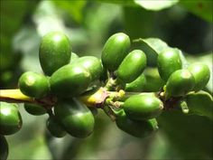 If you're looking for information and green coffee bean extract articles, then you've come to the right place Green Coffee Bean Extract, Green Beans, Articles