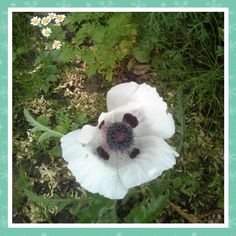 Witte Oosterse Papaver 'Royal Wedding' is een vaste plant waar van we 3 nieuwe exemplaren hebben gekocht in april de eerste bloem bloeit nu in de Kruidentuin,  17-6-2016.