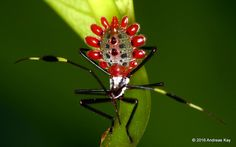 https://flic.kr/p/GrPe5p | Leaf-footed Bug nymph, Molchina sp. | from Ecuador Megadiverso: www.flickr.com/andreaskay/albums